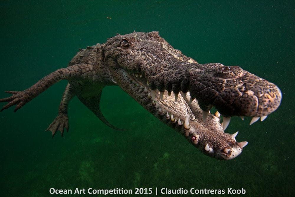 Con cá sấu Mỹ nổi lên trên mặt nước để hít thở, không thể không nở nụ cười thỏa mãn ở vùng Jardines de la Reina, Cuba.