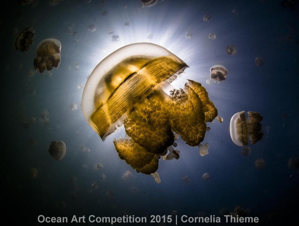 Con sứa vàng không nọc độc đang trôi nổi quanh hồ sứa ở Palau. Chúng đã sinh sống ở đây từ hàng nghìn năm trước.