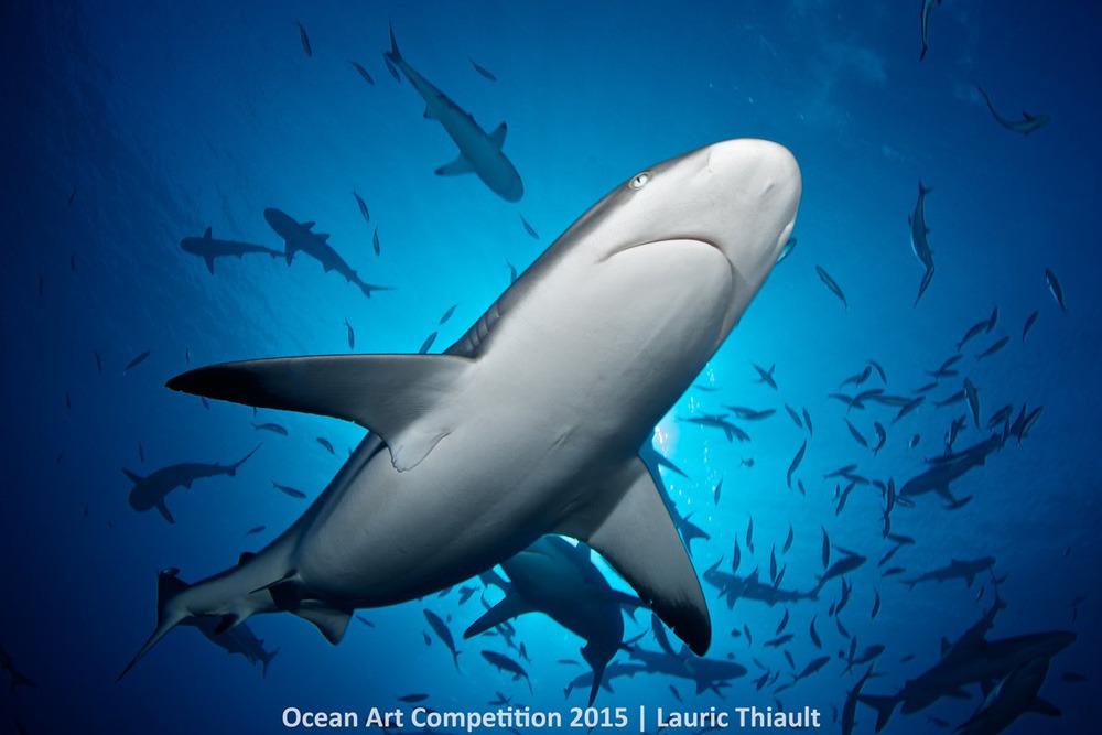 Con cá mập đầu đen đang mang thai bơi phía trên nhiếp ảnh gia Lauric Thiault ở La Vallée Blanche, French Polynesia.
