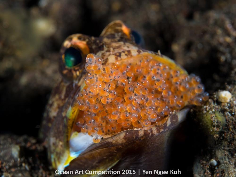 Con cá hàm đực này đang ấp trong miệng đầy những trứng ở Tulamben, Indonesia.