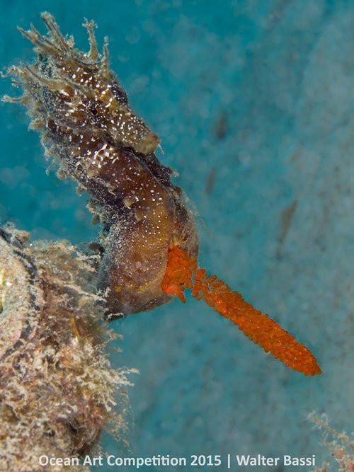 Cá ngựa đực với túi trứng lên tới hàng trăm quả, quá trình mang thai kéo dài tới 45 ngày trước khi đàn cá con nở ra.