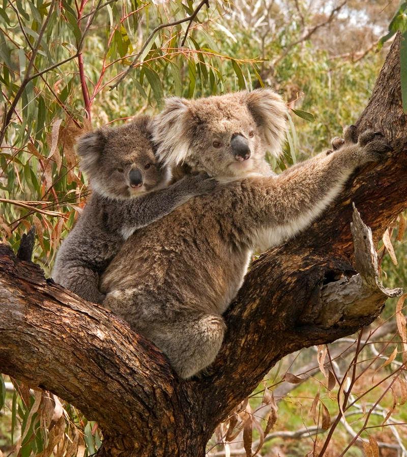 Gấu túi Koala