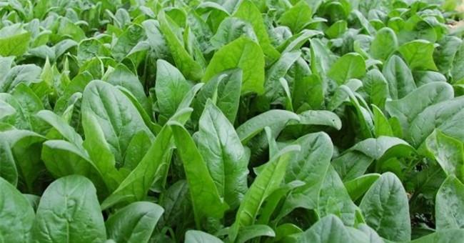 Nắm được kỹ thuật trồng cây rau chân vịt sẽ đem lại hiệu quả cao