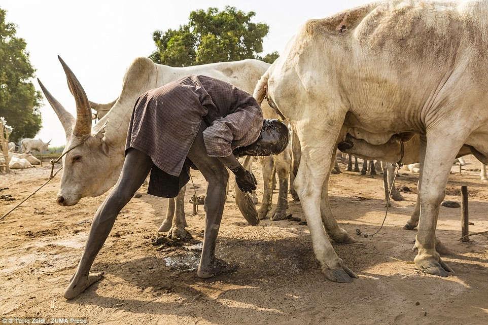 Một người đàn ông Mundari tận dụng khả năng chống vi khuẩn của nước tiểu bò, thứ biến tóc anh thành màu cam.
