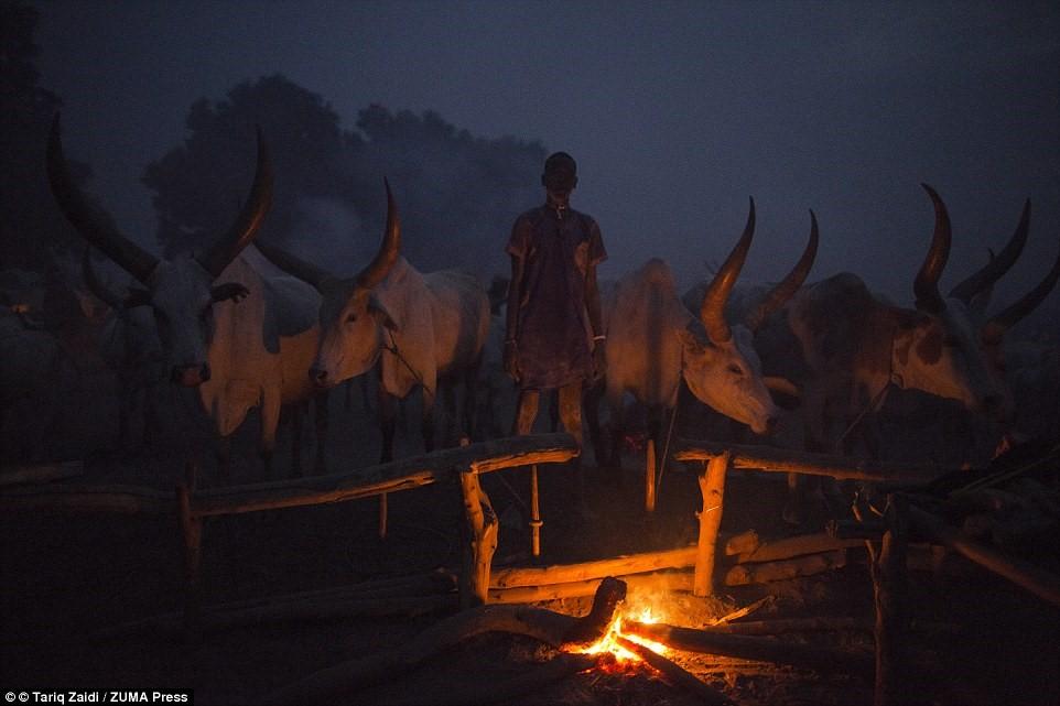 Chàng trai trẻ canh chừng bếp lửa và đàn bò suốt đêm. Những con bò là tài sản quý giá, dễ bị đánh cắp.