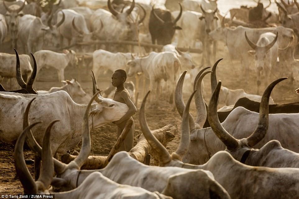 """Một cậu bé ôm con bò Ankole-Watusi giữa khu trại. Loài vật màu trắng này được mệnh danh là """"gia súc của vua chúa"""", với cặp sừng có thể dài tới 2,5 m."""