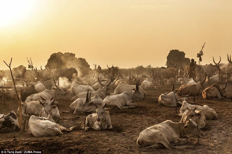 Bình minh trên trại nuôi bò của người Mundari. Họ dùng súng trường để canh giữ đàn gia súc.