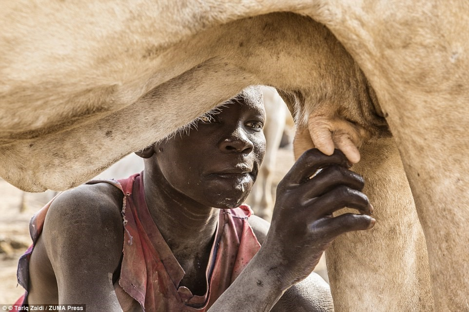 Một cậu bé người Mundari uống sữa thẳng từ con bò. Họ có dinh dưỡng, địa vị và nguồn sống đều nhờ loài gia súc này.