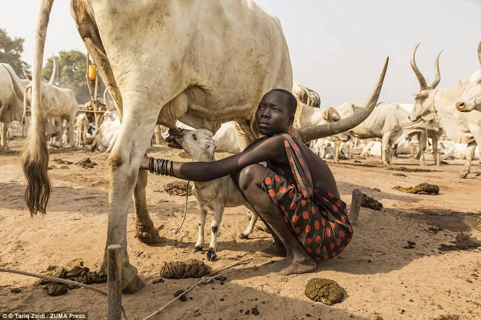 Một cô bé giúp con cừu bú sữa bò. Không chỉ riêng người dân tộc Mundari được hưởng lợi từ những con bò.