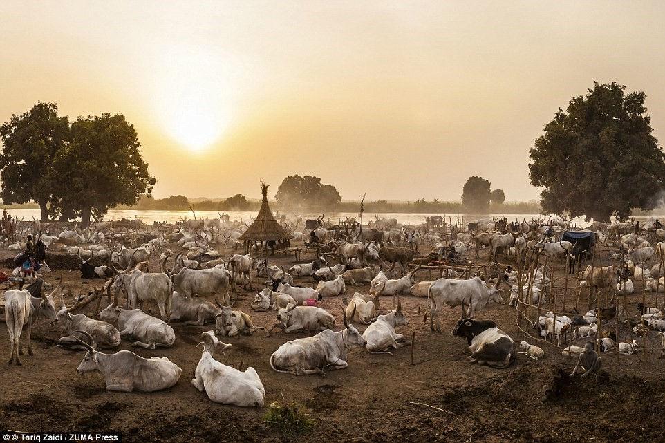 Khu định cư của người Mundari lúc chiều tối, khi đàn bò trở về. Mỗi con đều biết đường về với chủ nhân.