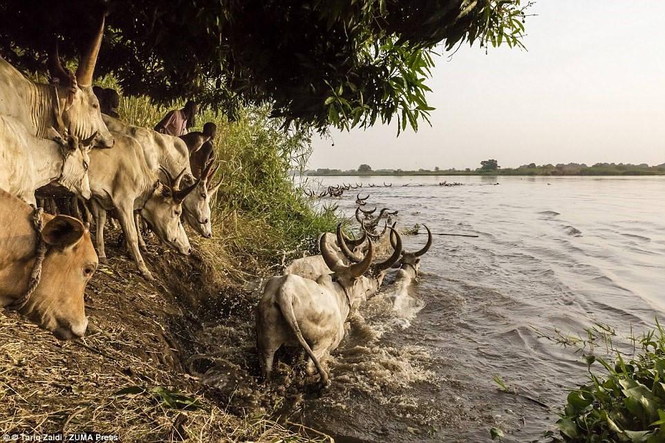 Người Mundari hướng đàn bò vượt qua sông Nile sang một hòn đảo, nơi chúng có thể gặm cỏ trong vài tháng tới.