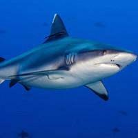 """Cá mập là """"cứu tinh"""" cho tương lai ngành điện tử"""