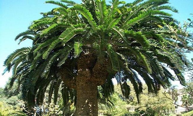 Cây tuế cô đơn ở Vườn thực vật Durban. Nam Phi.