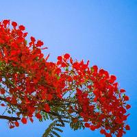 Hình ảnh hoa phượng vĩ tươi thắm gợi nhớ tuổi học trò đầy mơ mộng