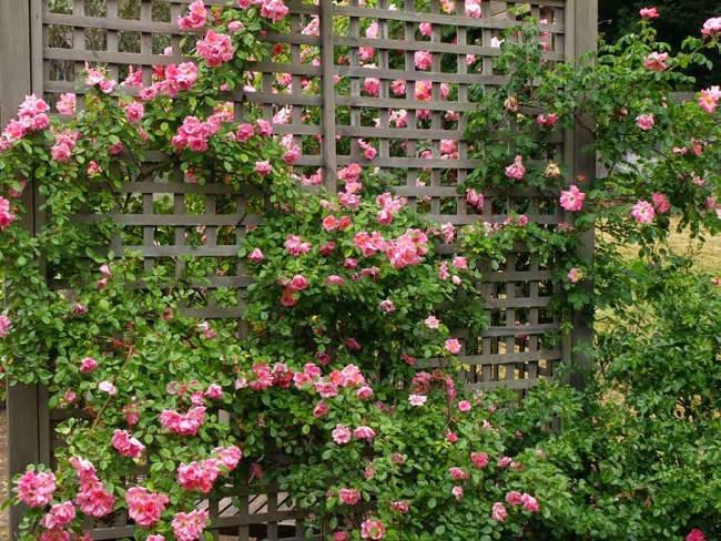 Hoa hồng leo là loài hoa đẹp, được nhiều người yêu thích.