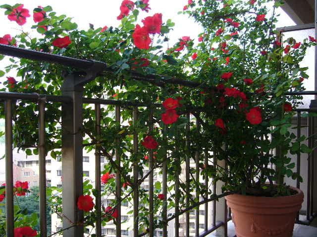 Trồng hoa hồng dây ngoài ban công