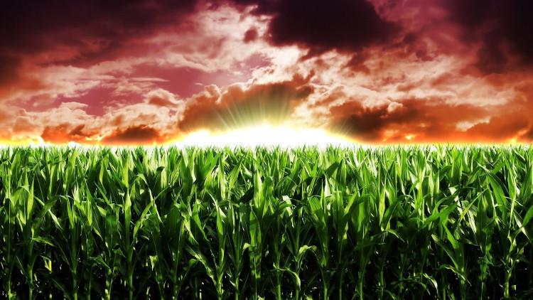 Nhiều người phản đối cây trồng biến đổi gene đã bày tỏ lo ngại về các ảnh hưởng của chúng.