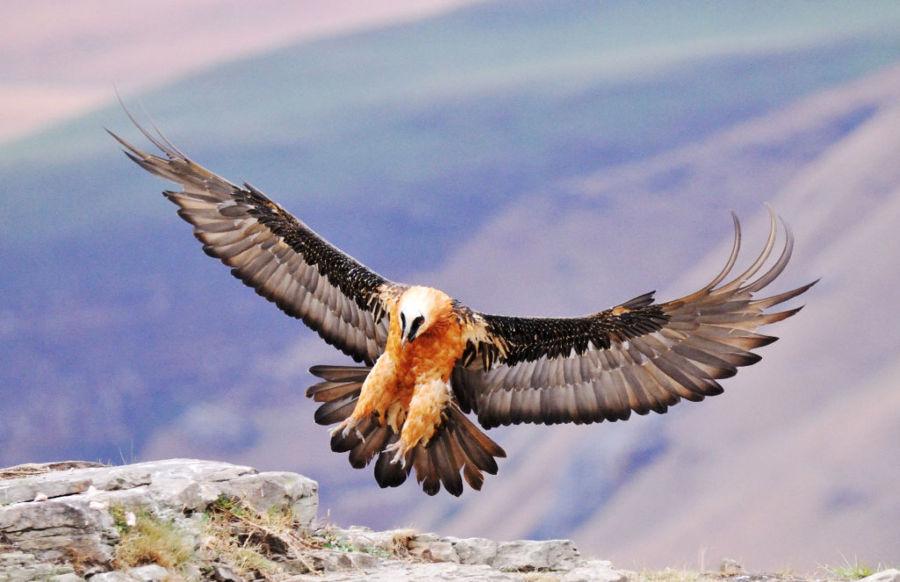 10 loài chim bay cao nhất thế giới