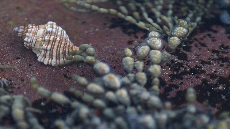 Các nhà khoa học Australia tin rằng loài sên biển Đá Trắng này có thể giúp chữa trị nhiều loại ung thư khác nhau.