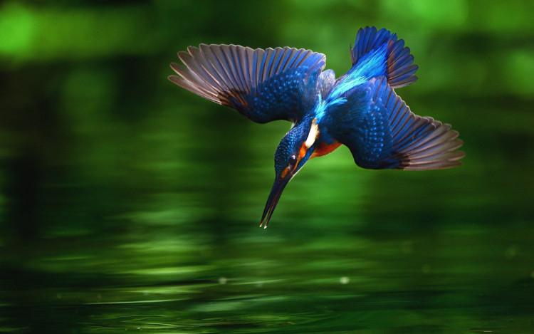 ...học tập thiết kế phần mỏ của chim bói ca khi lao xuống nước săn mồi.