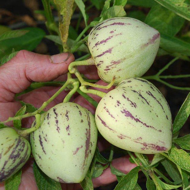Cây có thể mọc tự nhiên thẳng đứng hoặc có giàn đỡ để giữ cho trọng lượng của trái cây