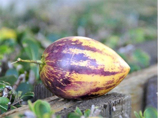 Dưa pepino cho quả sau 2-6 tháng trồng