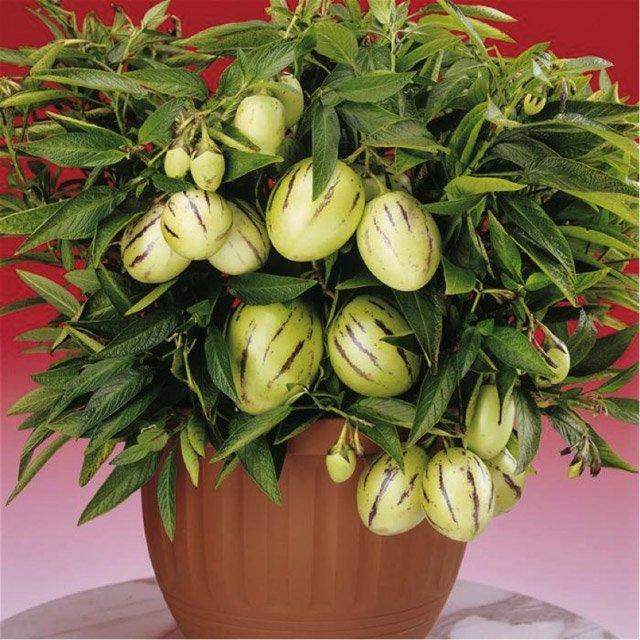 Dưa pepino là loại cây thu hoạch ngắn và năng suất cao