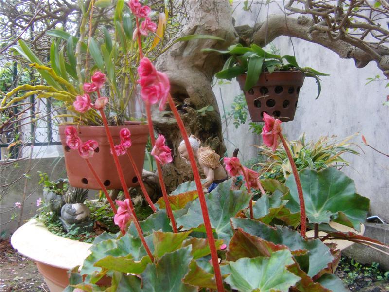 Hoa sen cạn có kỹ thuật trồng cây không khó