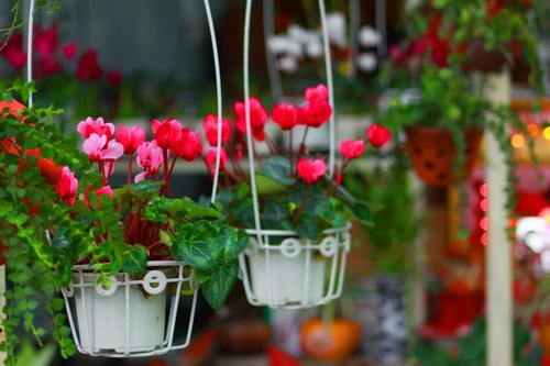 Để có được chậu hoa sen cạn đẹp, người  chơi hoa cần chú ý một số kỹ thuật trồng cây đơn giản