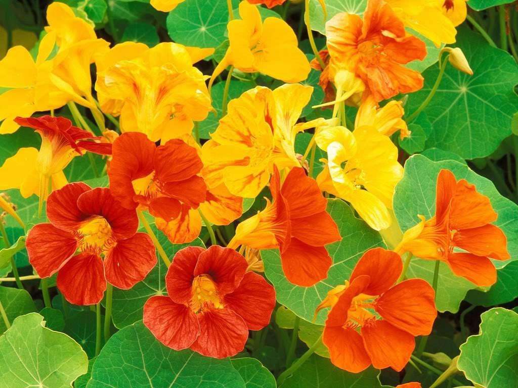 Hoa sen cạn có nhiều màu như vàng, vàng cam và đỏ