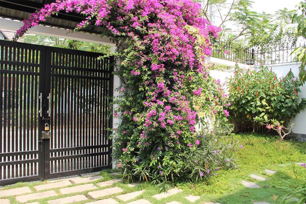 Hoa giấy được nhiều người Việt Nam biết đến và trồng để trang trí.