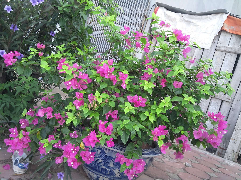 Loài hoa này được trồng rộng rãi ở nhiều nơi