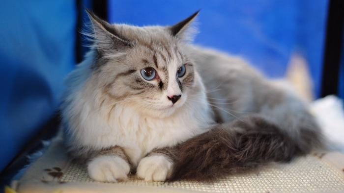 Mèo Maine Coon là một nòi mèo nhà có đặc điểm kiểu hình đặc trưng và có kỹ năng săn mồi đáng nể.