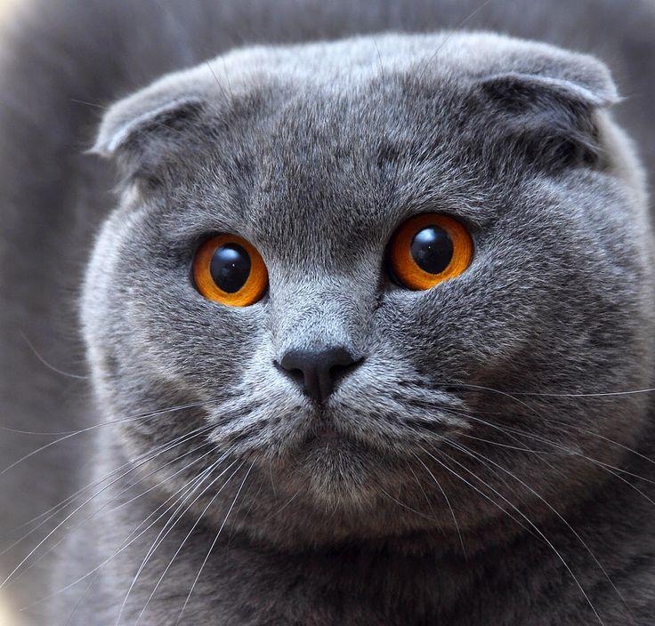 Giống mèo Scottish Fold của xứ Scotland có một đôi tai vô cùng đặc biệt với những nếp gấp