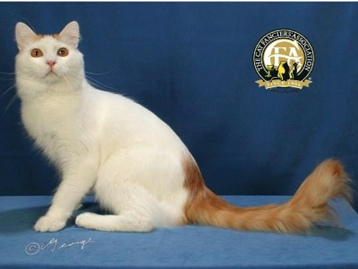 Mèo Turkish Van