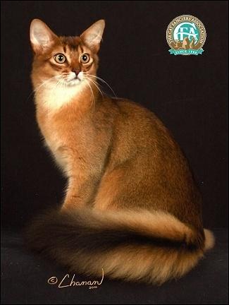 Mèo Smali giống như một chú cáo nhỏ