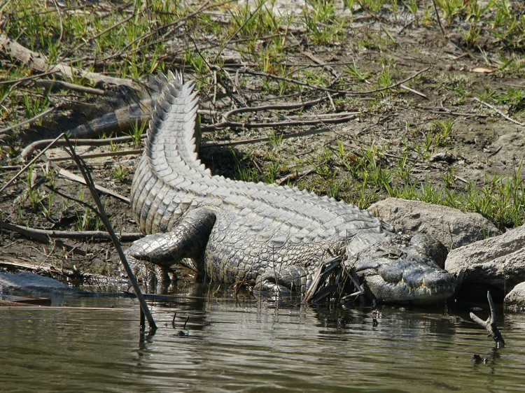 Cá sấu sông Nile giết chết hàng trăm người mỗi năm ở châu Phi.