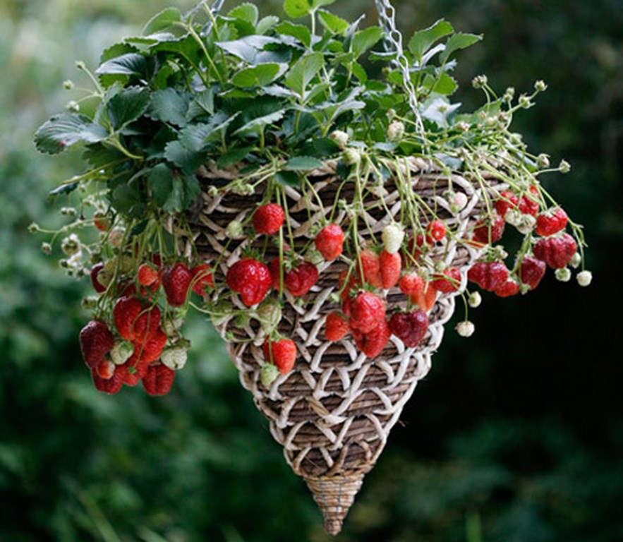 Sau khoảng 2 tháng là có thể thu hoạch những trái dâu chín mọng đầu tiên