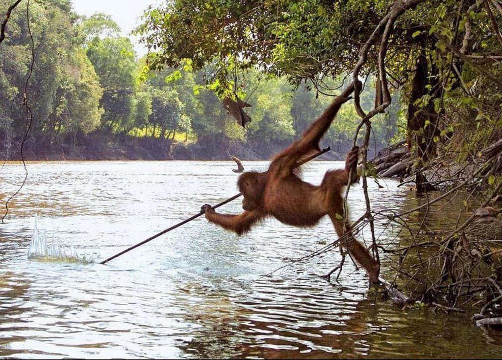 Con đười ươi này biết cách sử dụng công cụ để bắt cá