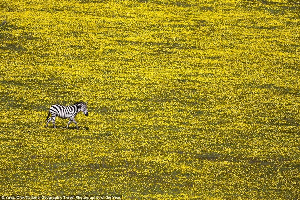 Một con ngựa vằn lang thang giữa cánh đồng hoa vàng gần công viên quốc gia Serengeti, Tanzania.