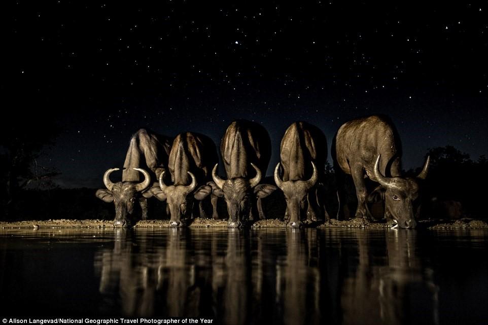 Dưới bầu trời đêm đầy sao ở Nam Phi, đàn trâu tiến gần mép nước để thỏa mãn cơn khát.