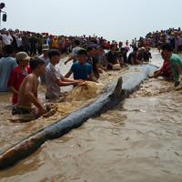 Cứu cá voi dài 14m mắc cạn ở biển Nghệ An