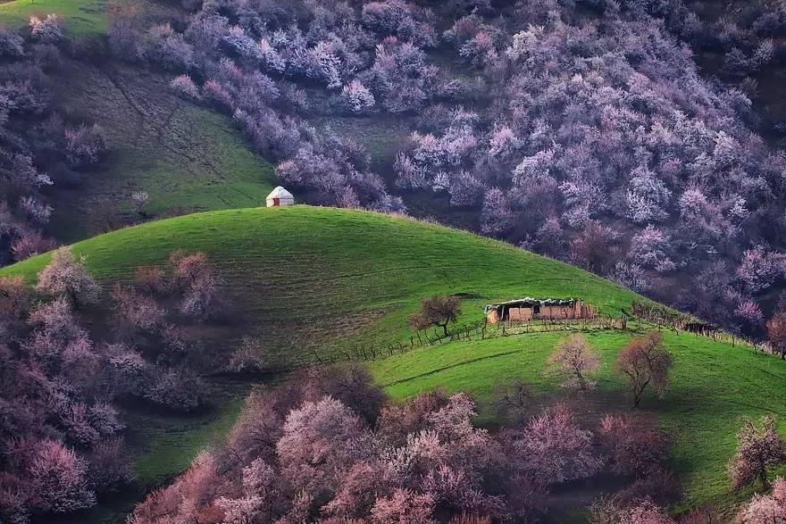 Mai mọc thành từng cụm, hoặc rải rác trên khắp thung lũng rộng 2.000 ha này.