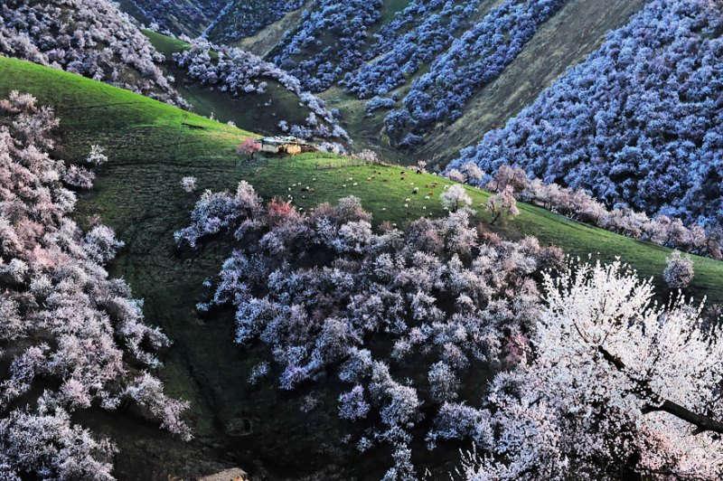 Thung lũng hoa mai không chỉ đẹp đến nao lòng, mà còn trở nên sống động hơn nhờ sự xuất hiện của ngựa và cừu.