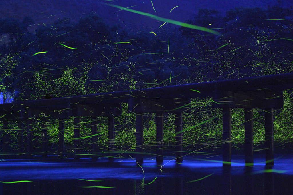 Những đốm sang le lói này là bầy đom đóm bên bờ sông Shimanto, Nhật Bản.
