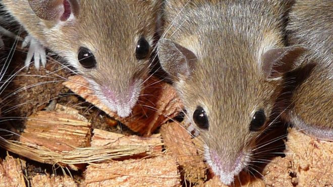 Hàng trăm nghìn con chuột đang tàn phá hệ sinh thái trên quần đảo Antipodes của New Zealand.