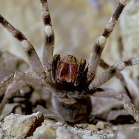 """Loài nhện có khả năng khiến nạn nhân """"rạo rực"""" đến chết"""