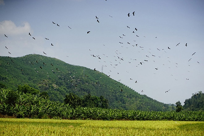 Hàng trăm con chim bay kiếm mồi tại những thửa ruộng đã gặt xong.