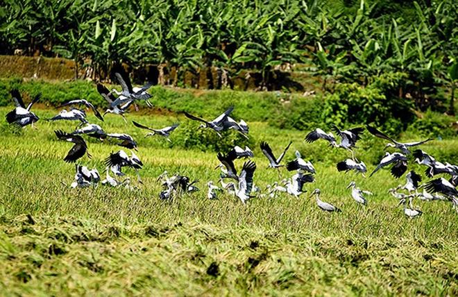 Những con chim có đặc điểm chân dài nhỏ, mỏ nhọn dài, lông màu xám. Khi bay lông cánh chúng có màu trắng và đen.