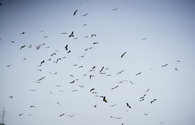 Loài chim không gây ảnh hưởng đến sản xuất nông nghiệp vì không ăn lúa của dân.